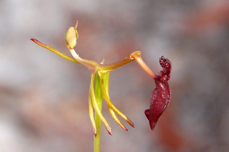 Drakaea   Hammer Orchid by AdamsWife