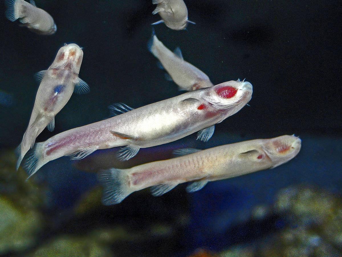 غار ماهی / Cave fish