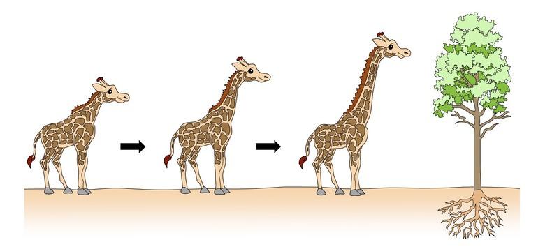 تکامل گردن زرافه ها / Giraffe neck evolution