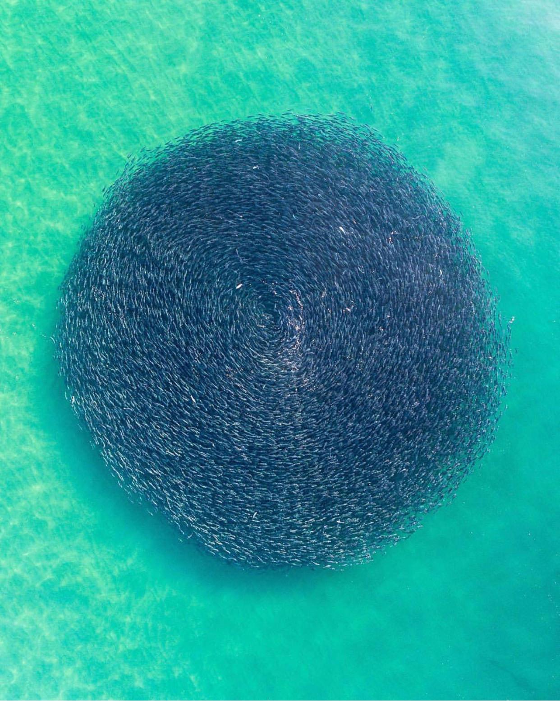 این عکس که تجمع دایرهای شکل ماهیهای سالمون را در ساحل ومبرال در شهر نیوساوتولز، نشان میدهد به یکباره ثبت شده و هیچ دستکاری و اصلاحی در آن اعمال نشده است. عکاس فردی به نام رید پلامر (Reed Plummer) است.
