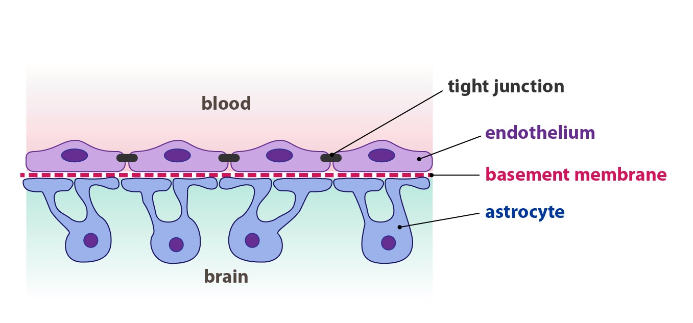 blood brain barrier 2
