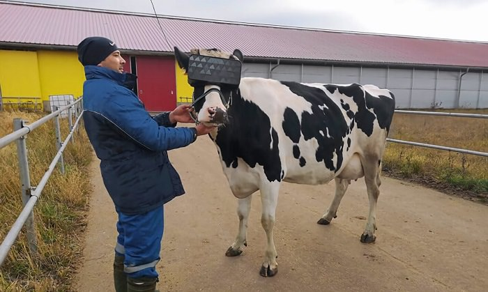VR HEADSET FOR COWS