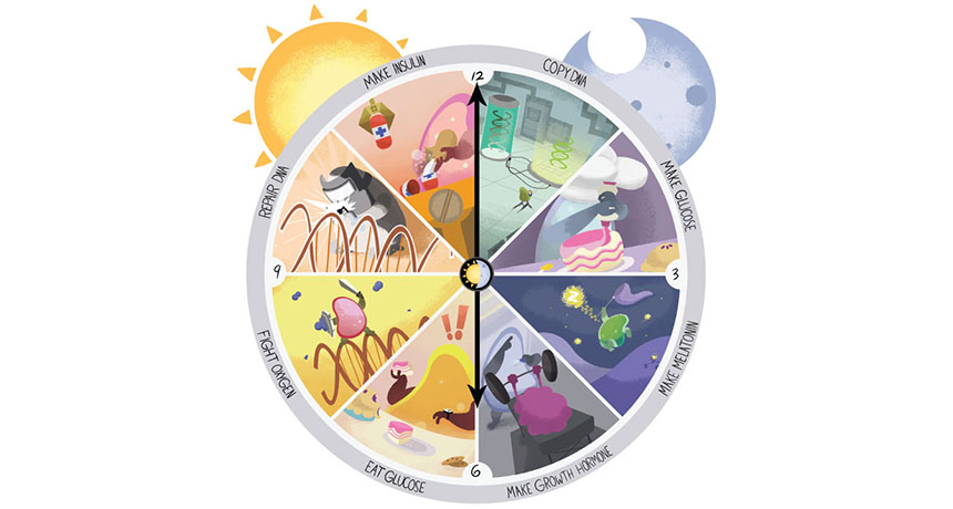ساعت زیستی / biological clock