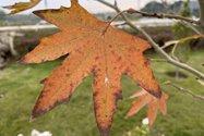 نمونه عکس دوربین اصلی آیفون ۱۲ پرو مکس در طول روز - برگ پاییزی درختی در باغ کتاب تهران