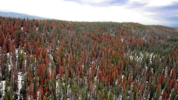 Beetles devastated forested areas in Canada