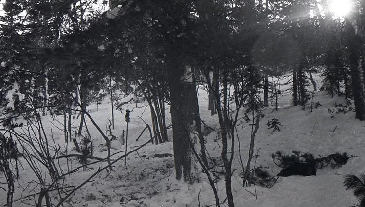 حادثه گذرگاه دیتلوف: درخت سرو