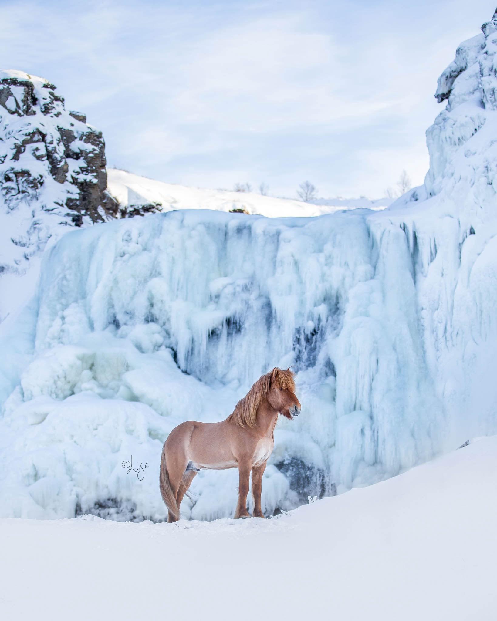اسبهای ایسلندی