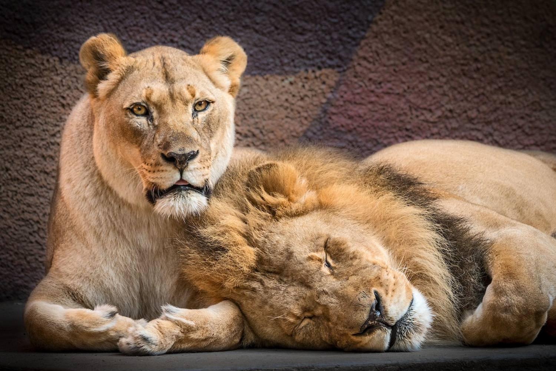 هوبرت و کالیسا دو شیر عاشق که اتانازی شدند