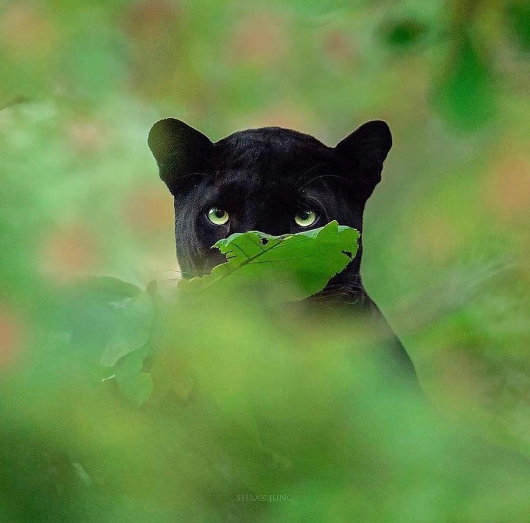 پلنگ سیاه در جنگل هند/ شاز جاگ