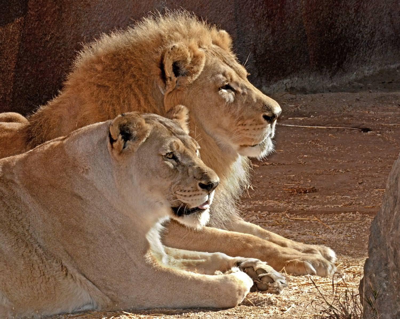 شیر آفریقایی نشسته زیر آفتاب در باغ وحش / هوبرت و کالیسا