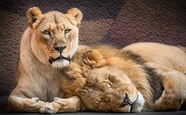 تصاویری دلنشین از دو شیر عاشق که با هم به خواب ابدی فرو رفتند