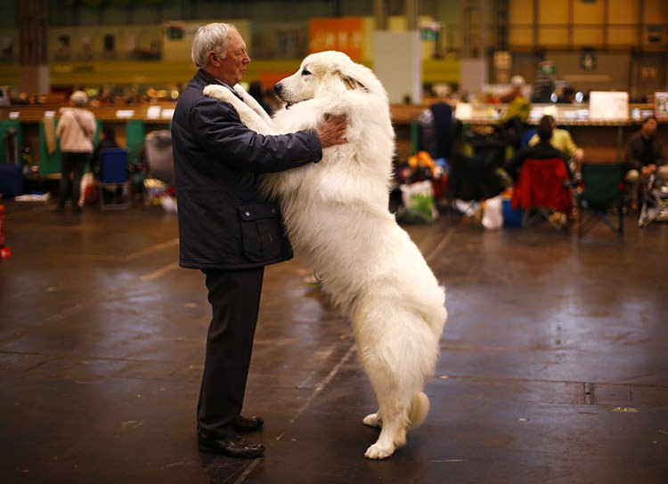 15 arthur ward stands with his pyrenean mountain dog cody during the first day of the crufts dog show in birmingham central england s b0439