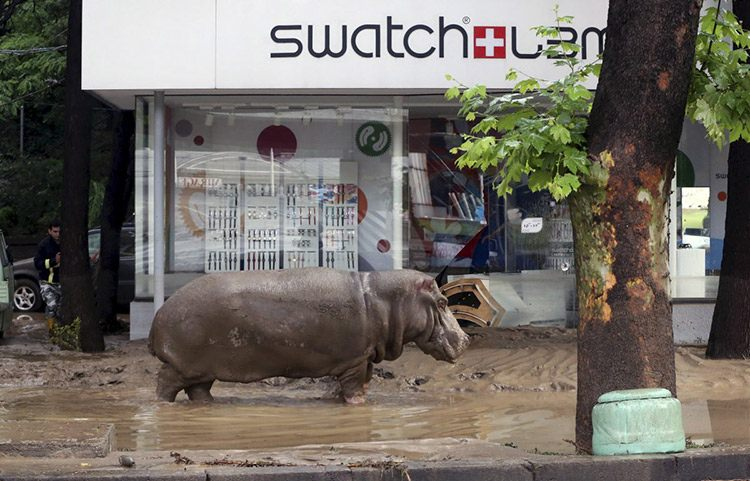 16 a hippopotamus walks across flooded street in tbilisi georgia s 38895