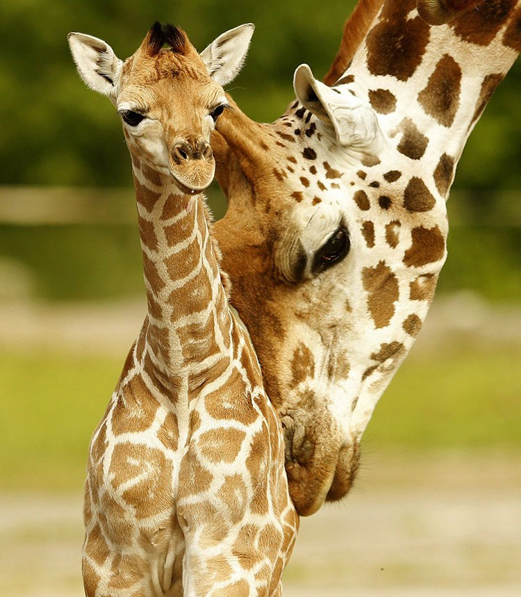19 sanyu a five day old rothschilds giraffe calf is nuzzled by another member of the herd in their enclosure at chester zoo in chester britain s ef60b