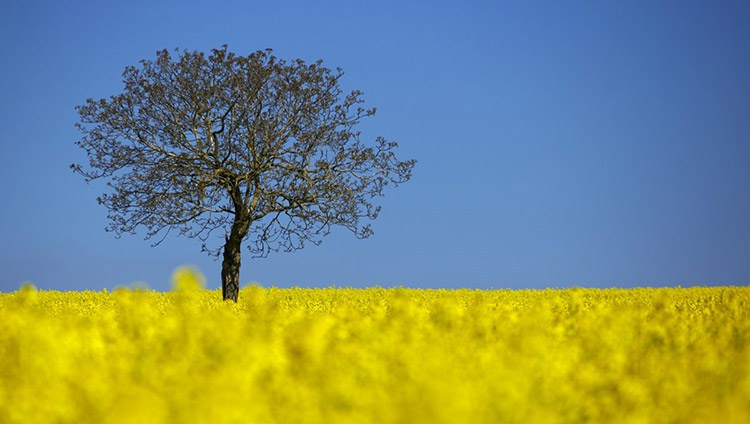 7 a tree is pictured in a blooming rapeseed field on a spring morning in vufflens la ville near lausanne s 010fa
