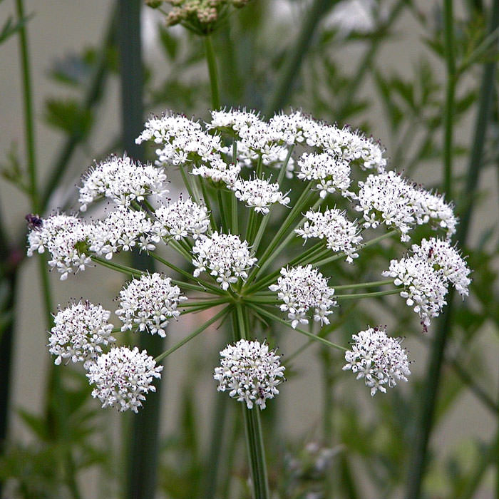 Oenanthe-Crocata-10-most-poisonous-flowers