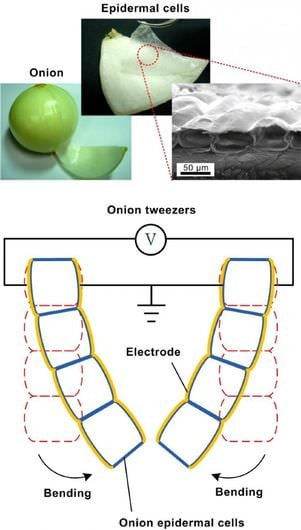onion-cell-artificial-muscles-1