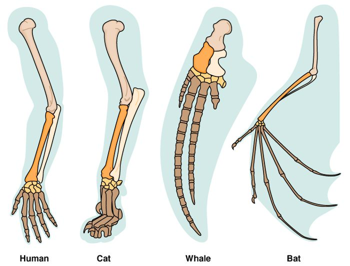 forelimb homology