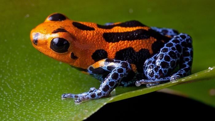 poison dart frog orange blue