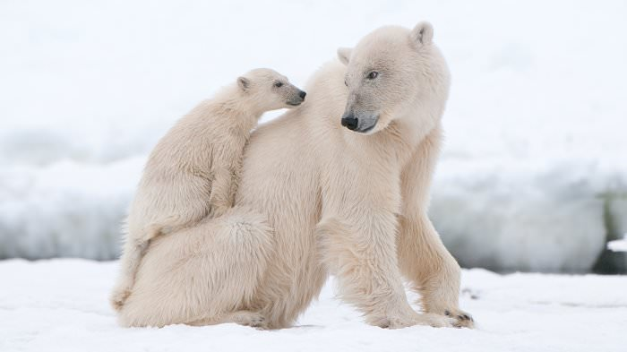 polar bear cub on mom