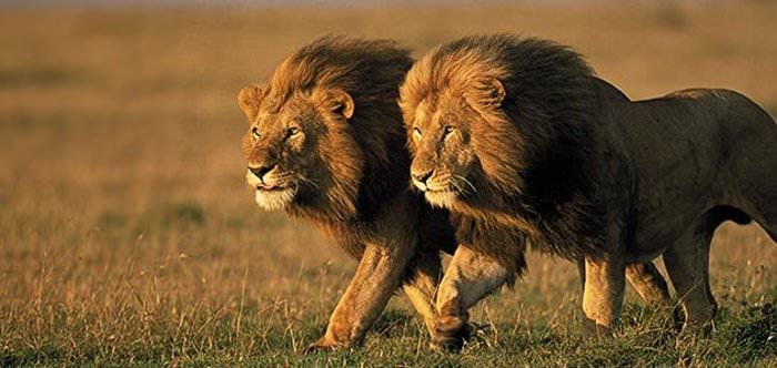 two male lions Kenya